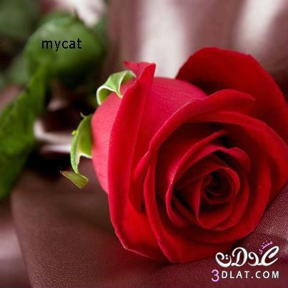 جميلة, حمراء, رومانسية, صور, ورود, 2014