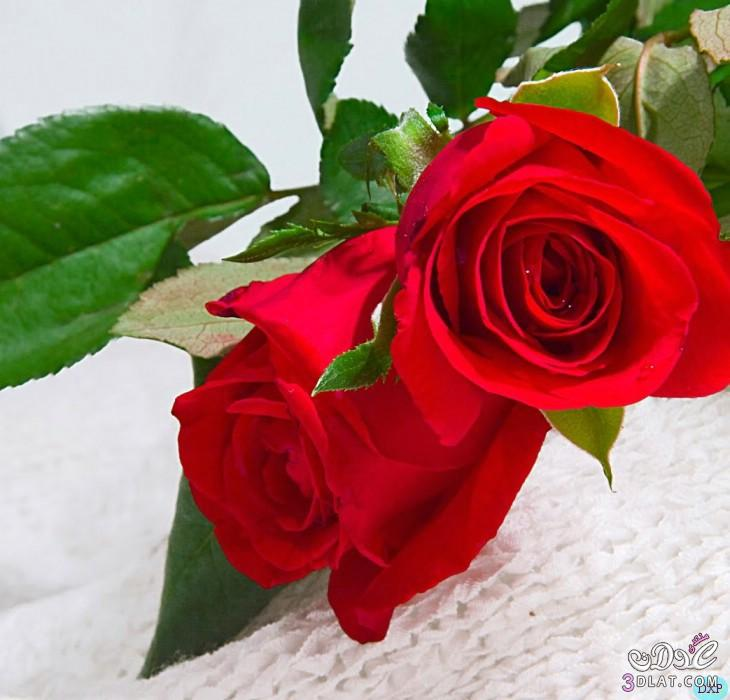 للتصميم احمر للتصميم ورود رومانسية للتصميم do.php?imgf=13703874