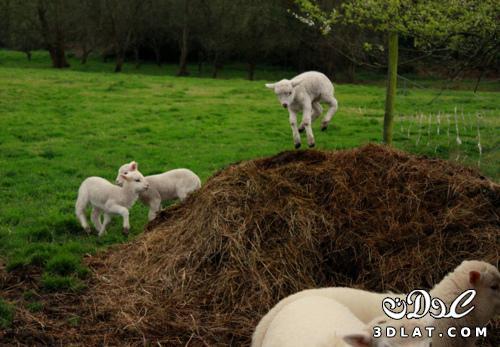 خرفان بمناسبة الاضحى Sheep خروف العيد 13190364297.jpg