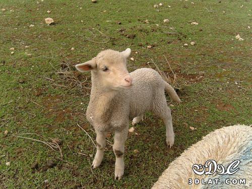 خرفان بمناسبة الاضحى Sheep خروف العيد 13190364298.jpg