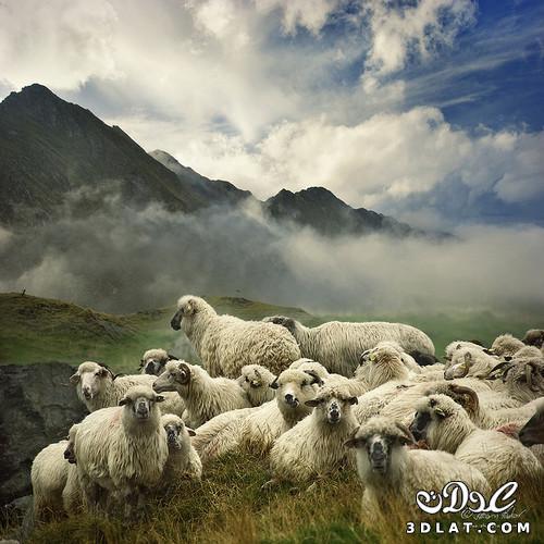 خرفان بمناسبة الاضحى Sheep خروف العيد 131903643010.jpg