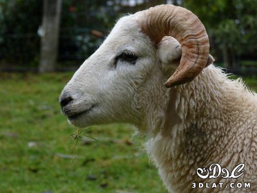 خرفان بمناسبة الاضحى Sheep خروف العيد 131903643012.jpg