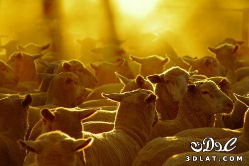 خرفان بمناسبة الاضحى Sheep خروف العيد 131903643015.jpg