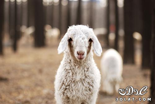 صور خرفان بمناسبة عيد الاضحى Sheep خروف العيد
