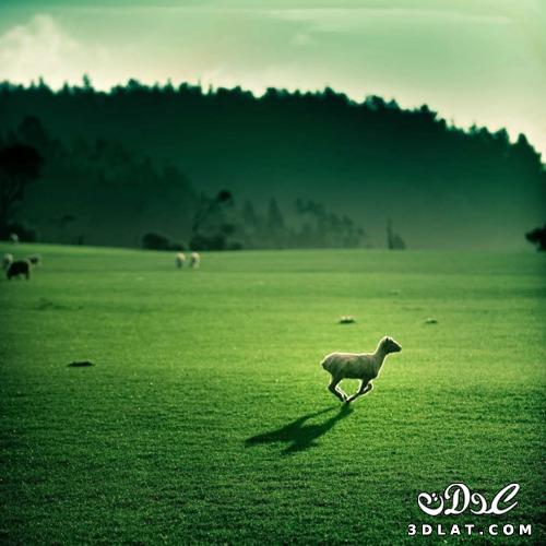 خرفان بمناسبة الاضحى Sheep خروف العيد 131903643018.jpg