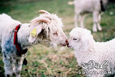 خرفان بمناسبة الاضحى Sheep خروف العيد 131903643019.jpg