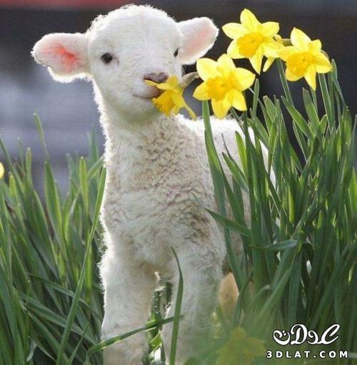 خرفان بمناسبة الاضحى Sheep خروف العيد 131903664510.jpg