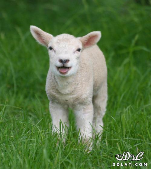 خرفان بمناسبة الاضحى Sheep خروف العيد 131903664515.jpg