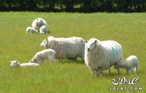 خرفان بمناسبة الاضحى Sheep خروف العيد 131903664516.jpg