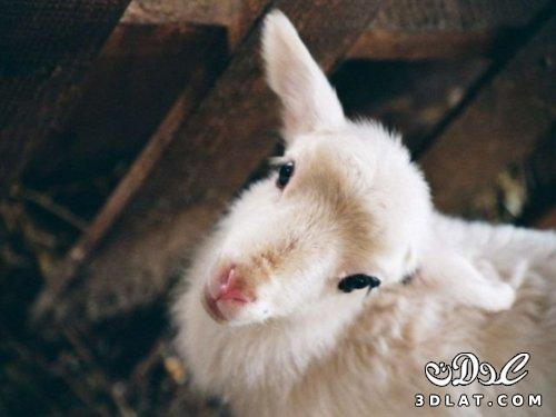 صور خرفان بمناسبه عيد الاضحى Sheep خروف العيد