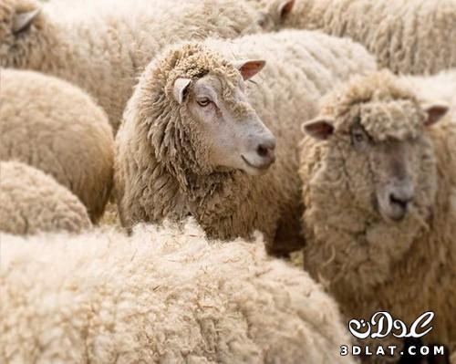 خرفان بمناسبة الاضحى Sheep خروف العيد 13190366456.jpg