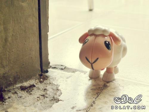 خرفان بمناسبة الاضحى Sheep خروف العيد 13190366458.jpg