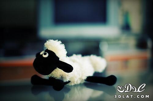 خرفان بمناسبة الاضحى Sheep خروف العيد 13190366459.jpg