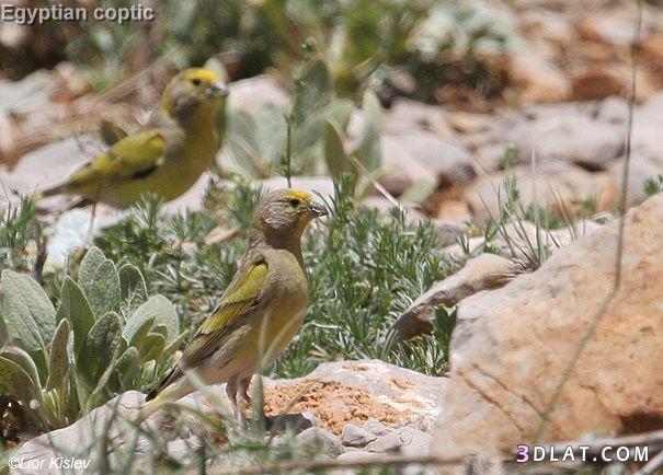 البسبوس السوري Syrian Serin 133024296013.jpg