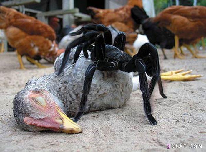 أكبر عنكبوت الطيور, معلومات أكبر العناكب 13338082991.jpg