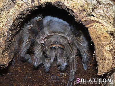 أكبر عنكبوت الطيور, معلومات أكبر العناكب 13338082992.jpg