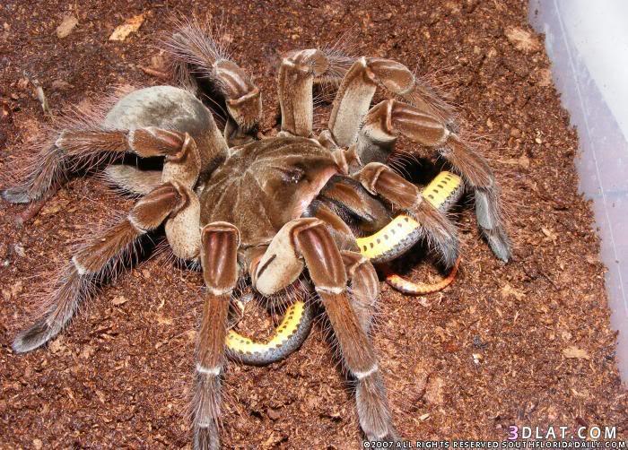 أكبر عنكبوت الطيور, معلومات أكبر العناكب 13338082994.jpg
