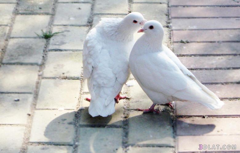 اغرب صور لطائر الحمام سبحان الله