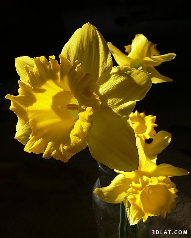 صور ورد اصفر رائعه2019 صور ورود صفراء جميله 2020 اجمل الورد الاصفر