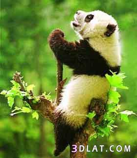 حيوان الباندا,صور حيوان الباندا,ماذا تعرف
