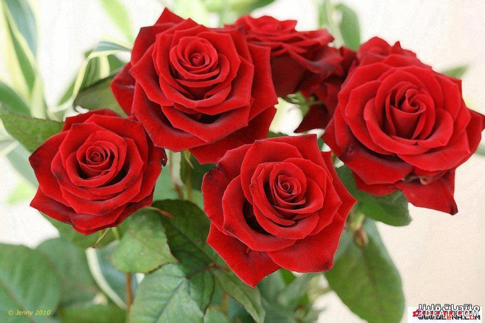 صور ورود حمراء رومنسيه صور باكيهات ورد احمر صور ورد احمر رومنسى