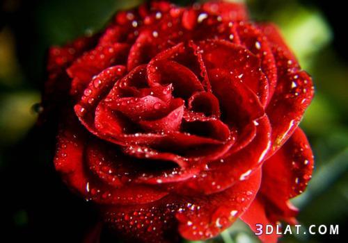ورد احمر جميييل صور ورود حمراء جميلة روزة