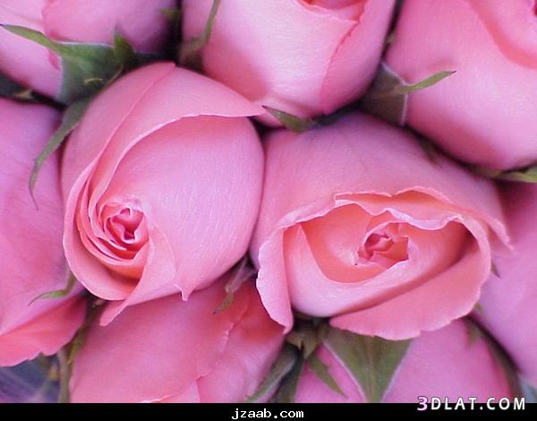 جمييل باللون الزهري ورود وردية ورود 13642491801.jpg