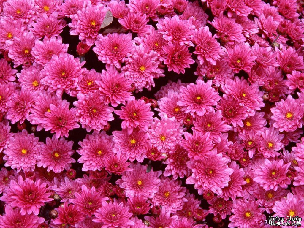جمييل باللون الزهري ورود وردية ورود 13642491803.jpg