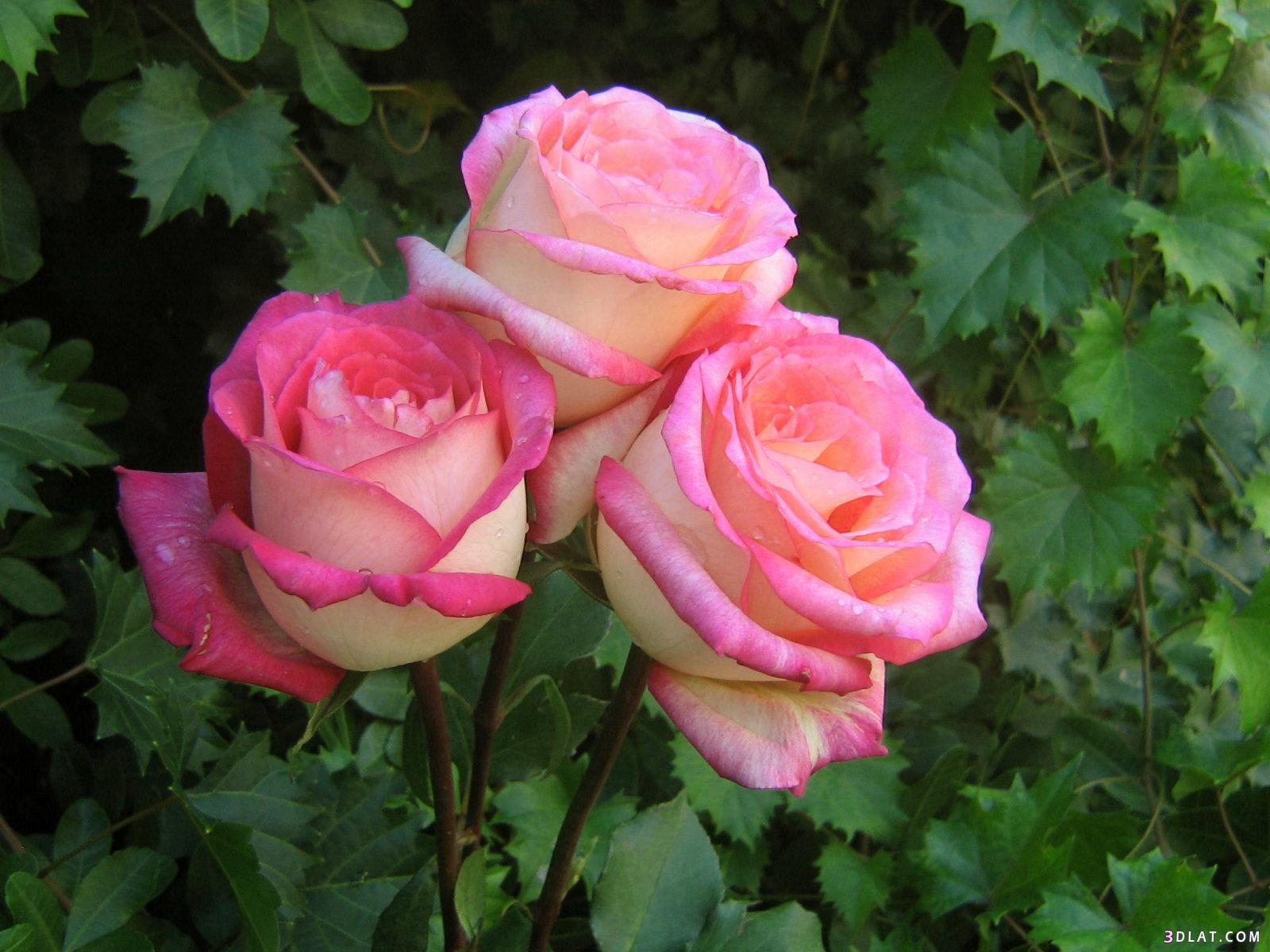 جمييل باللون الزهري ورود وردية ورود 13642491805.jpg