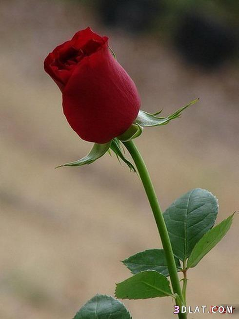 فرام رومانسي ورود حمراء مع حمام الحب