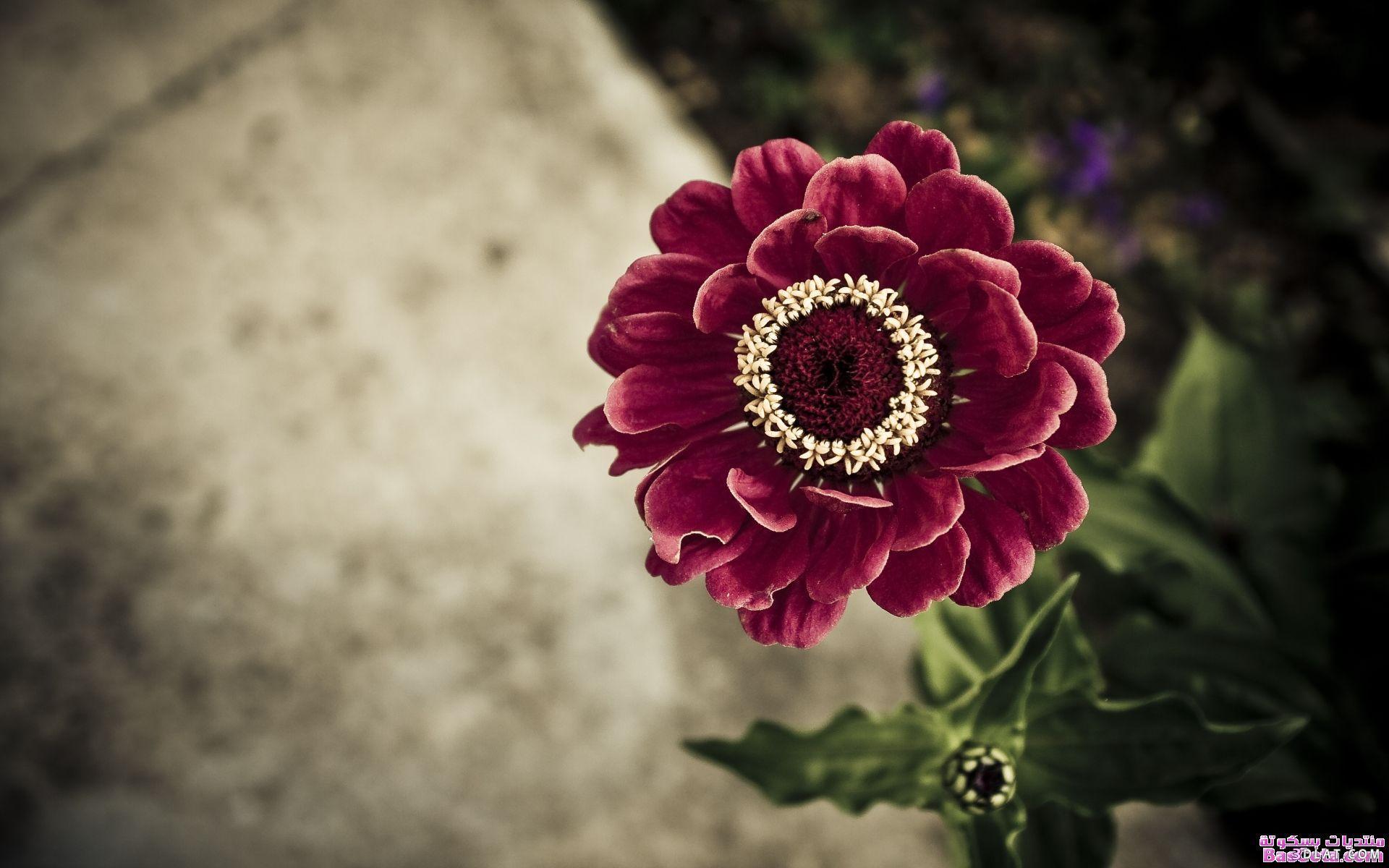 اكبر مجموعة الورد الرائعة لسطح المكتب 13661414512.jpg
