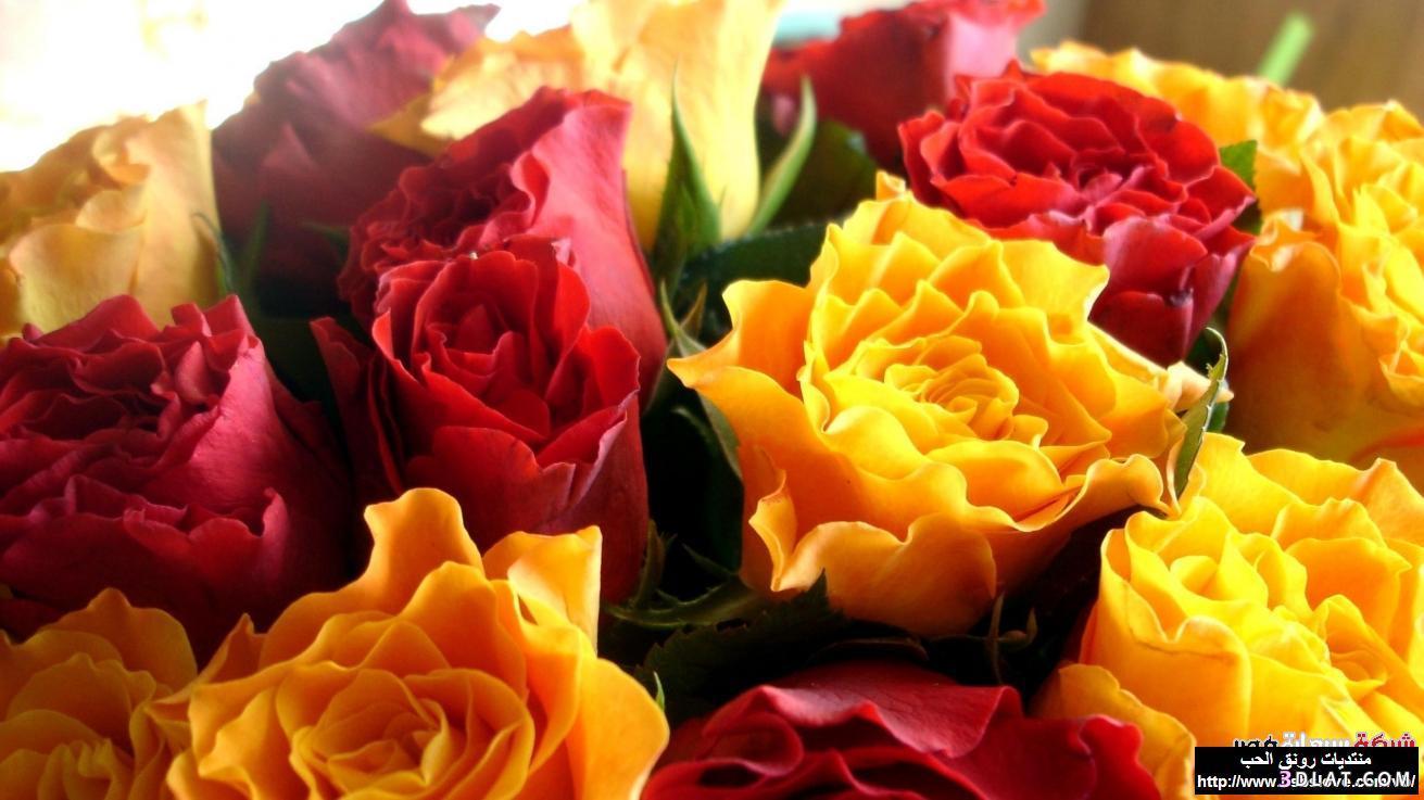 اكبر مجموعة الورد الرائعة لسطح المكتب 13661416072.jpg