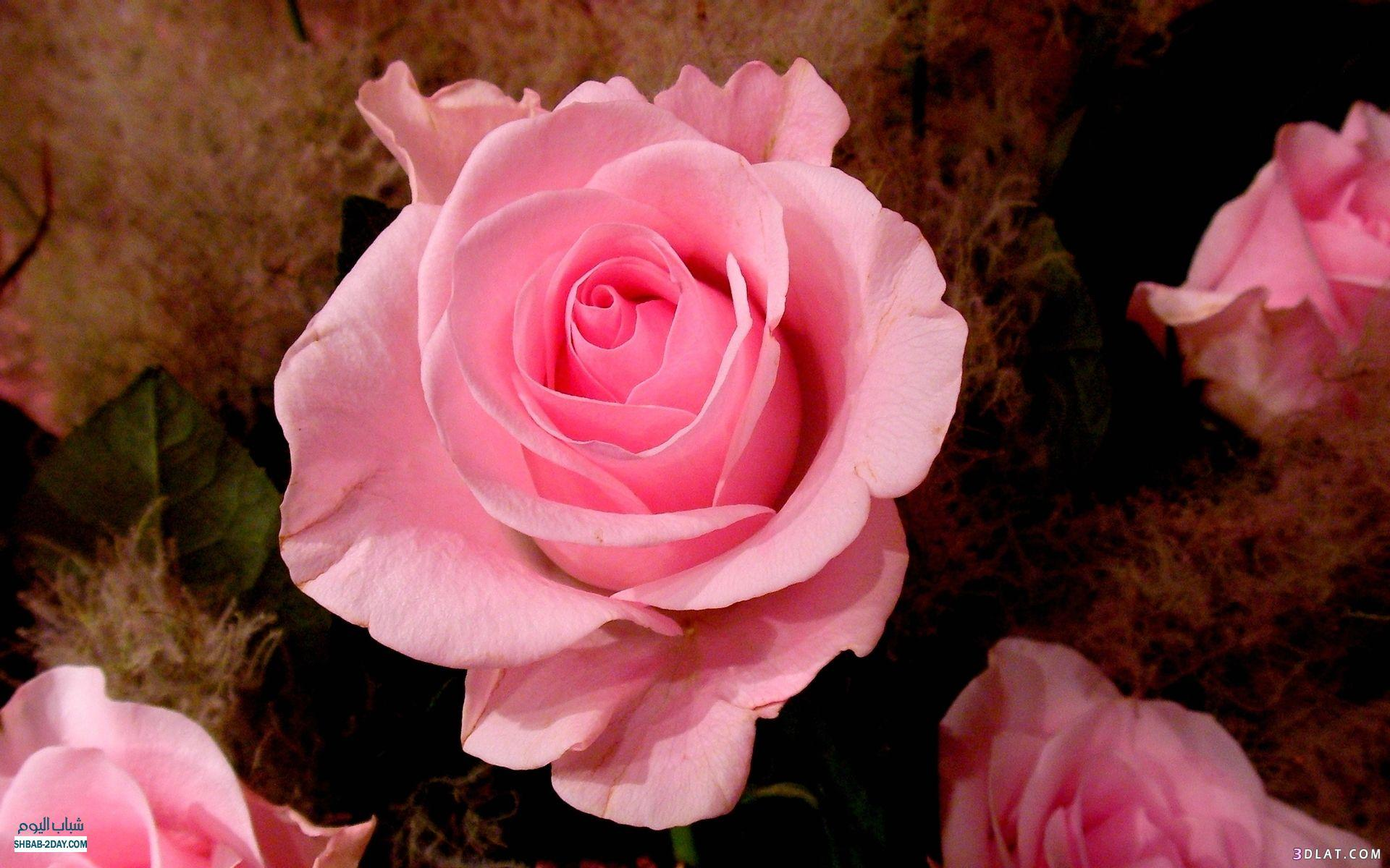 اكبر مجموعة الورد الرائعة لسطح المكتب 13661418221.jpg