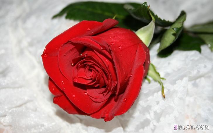 اكبر مجموعة الورد الرائعة لسطح المكتب 13661421322.jpg
