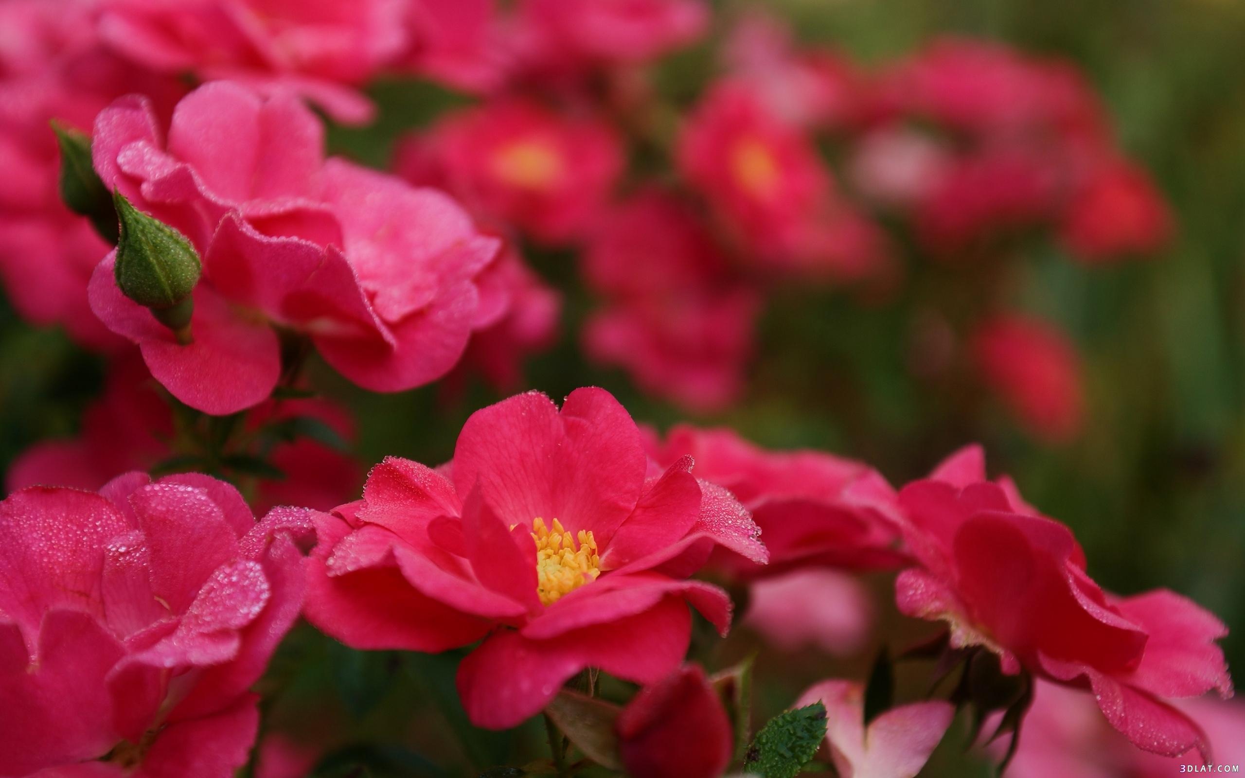 اكبر مجموعة الورد الرائعة لسطح المكتب 13661438441.jpg