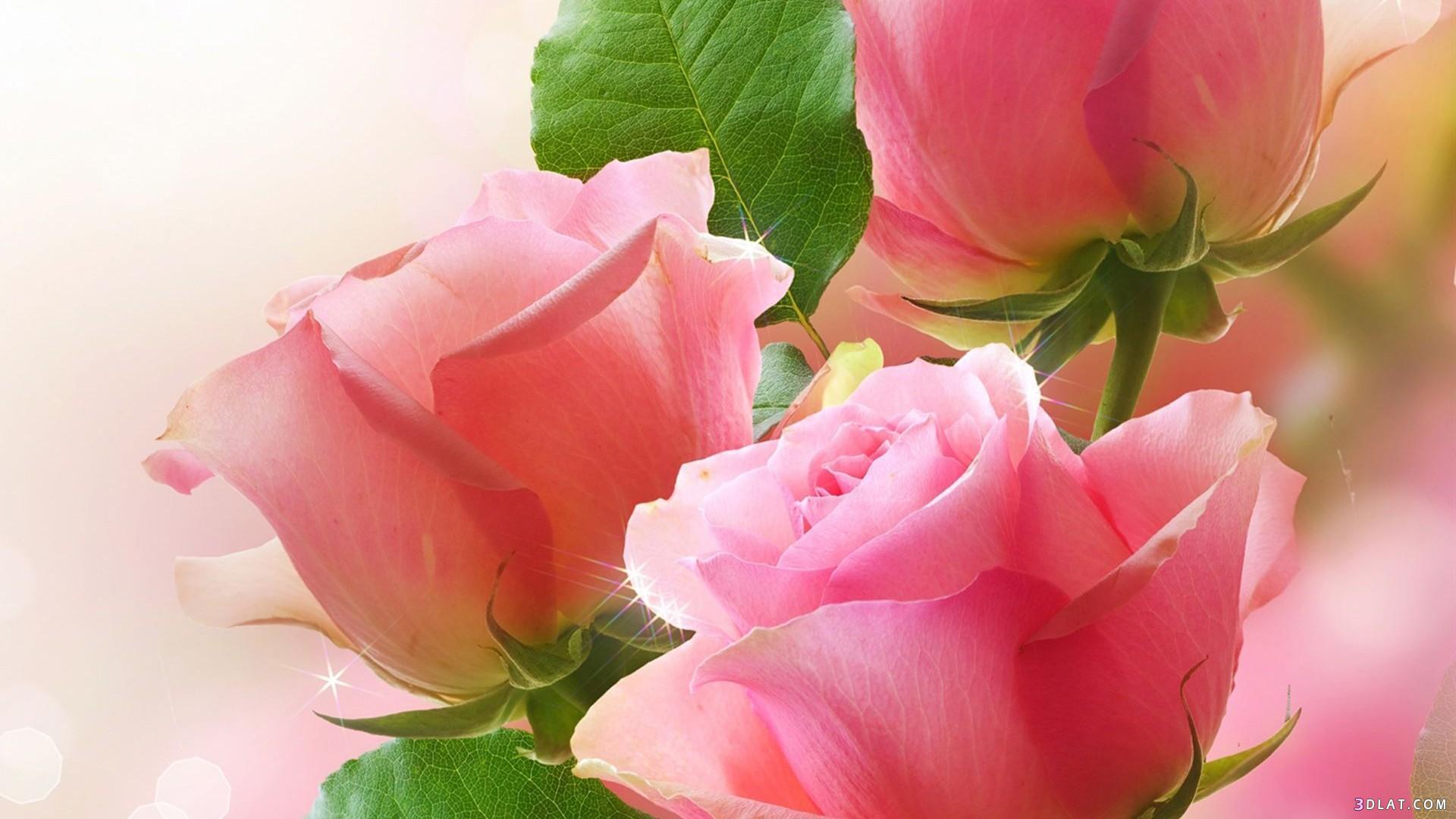 اكبر مجموعة الورد الرائعة لسطح المكتب 13661447871.jpg