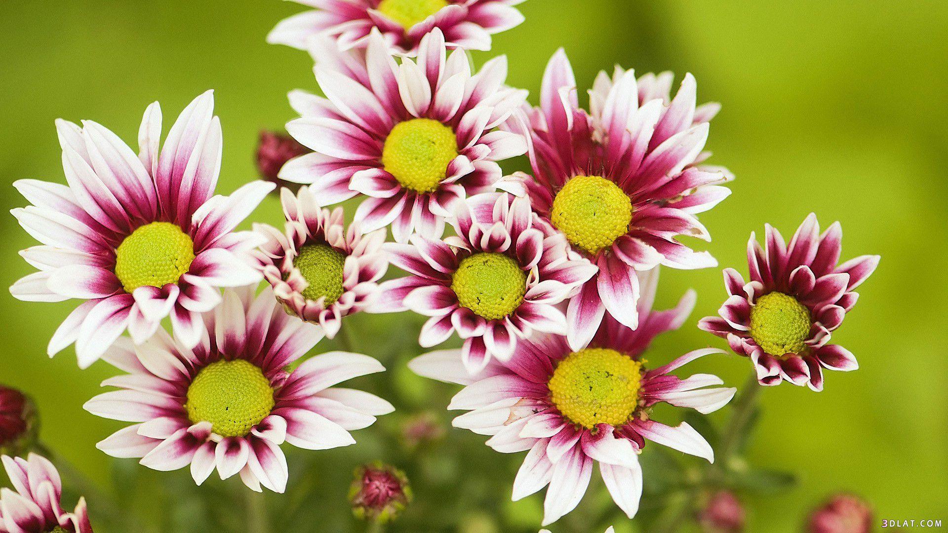 اكبر مجموعة الورد الرائعة لسطح المكتب 13661450871.jpg