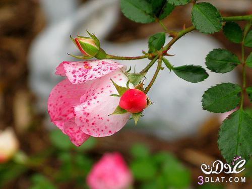 أجمل ورود الطبيعه,صور ورود وزهور روعه,صور 13677869074.jpg
