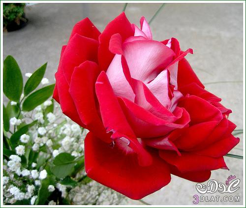 أجمل ورود الطبيعه,صور ورود وزهور روعه,صور 13677869085.jpg