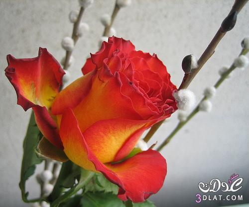 أجمل ورود الطبيعه,صور ورود وزهور روعه,صور 13677869086.jpg