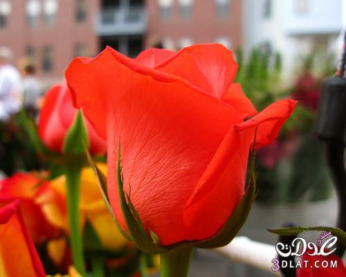 أجمل ورود الطبيعه,صور ورود وزهور روعه,صور 136778690910.jpg