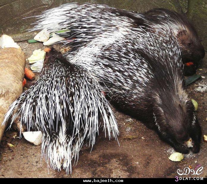 حيوان النيص وومعلومات النيص 13747775282.jpg
