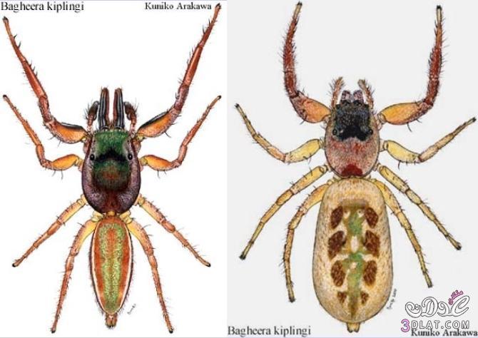 العنكبوت النبآتي العنكبوت النبآتي يوجد عنكبوت 13767532884.jpg