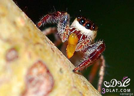 العنكبوت النبآتي العنكبوت النبآتي يوجد عنكبوت 13767532885.jpg
