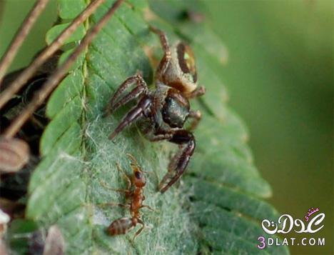 العنكبوت النبآتي العنكبوت النبآتي يوجد عنكبوت 13767532888.jpg