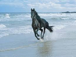 صور خيول سوداء صور الحصان العربى الاسود صور الخيل العربى الاسود صور خيول عربيه ص