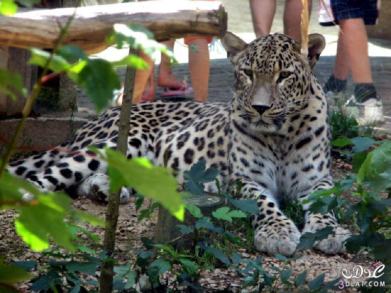 النمر الفارسى النمور الفارسية النمور الفارسيه 13850563011.jpg