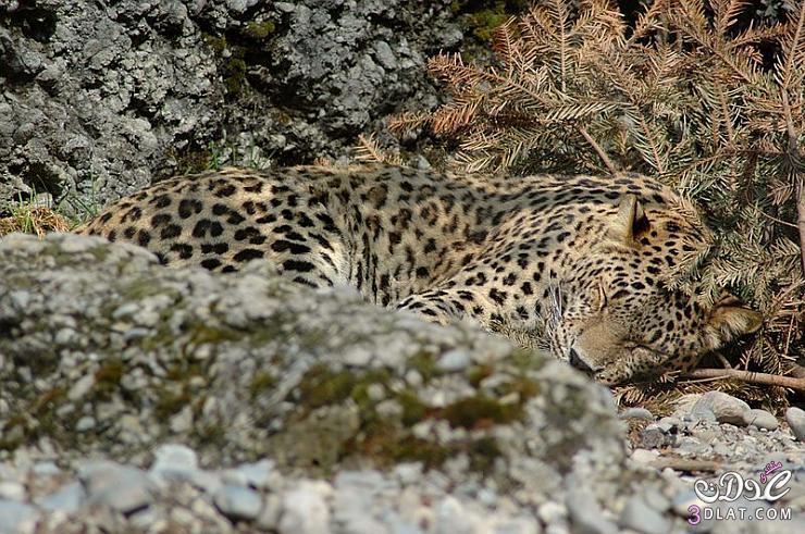 النمر الفارسى النمور الفارسية النمور الفارسيه 13850563013.jpg