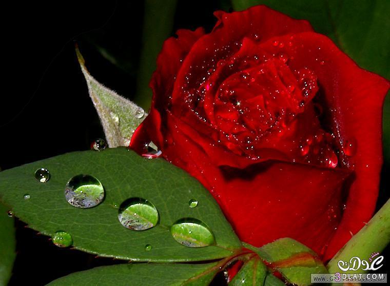 صور ورد احمر اجمل خلفيات الورد الطبيعي ورود حمراء جميلة روزة