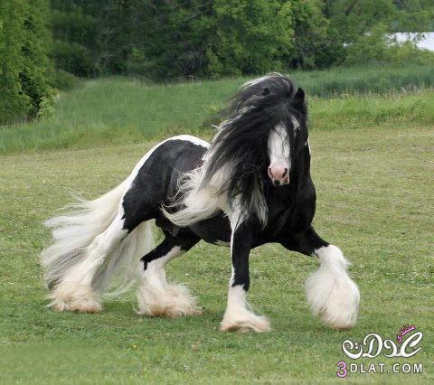 أجمل الخيول فى العالم 13862950843.jpg